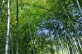 Free Bamboo Forest Stock Images - 14173674