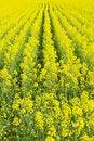 Free Beautiful Field Of Rape Yellow Flowers Royalty Free Stock Photo - 14174875