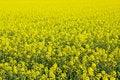 Free Beautiful Field Of Rape Yellow Flowers Stock Photography - 14174952