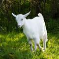 Free Baby Goat Royalty Free Stock Photos - 14177988
