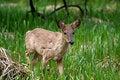 Free White-tail Deer Stock Photo - 14179730