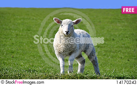 Free Cute Curious Lamb Looking At The Camera In Spring Stock Photos - 14170243