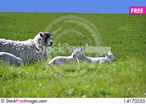 Free Sheep With Four Lambs In The Green Field In Spring Royalty Free Stock Photo - 14170255