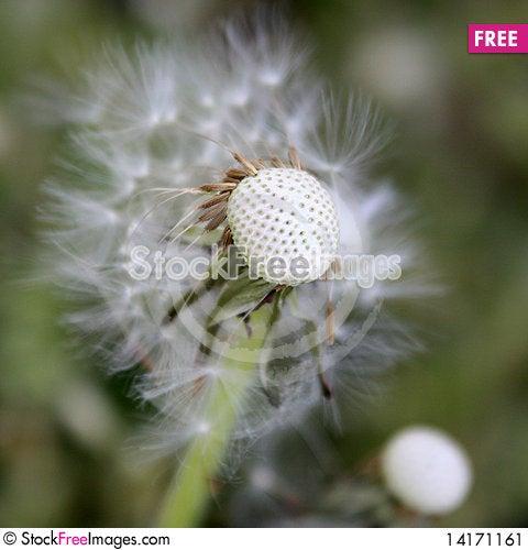 Free Taraxacum Stock Image - 14171161