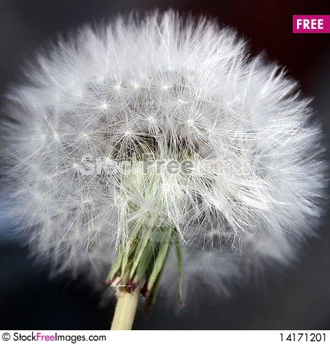 Free Taraxacum Stock Image - 14171201