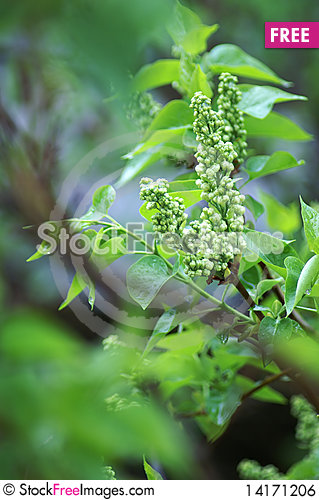 Free Lilac Royalty Free Stock Image - 14171206
