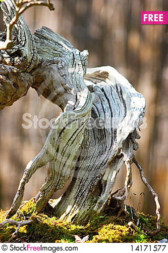 Free Bonsai Royalty Free Stock Photography - 14171577