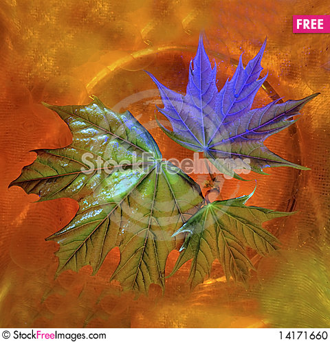 Free Leaves Of A Young Maple Stock Photo - 14171660