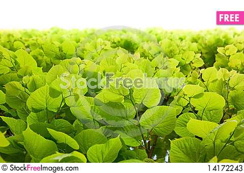 Free Green Leaves Stock Photos - 14172243