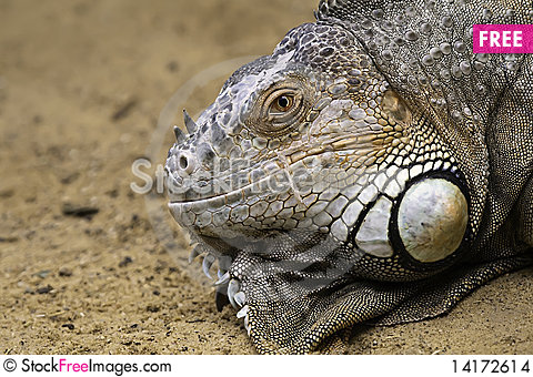 Free Lizzard Stock Images - 14172614