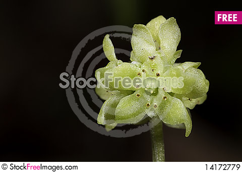 Free Moschatel Royalty Free Stock Images - 14172779
