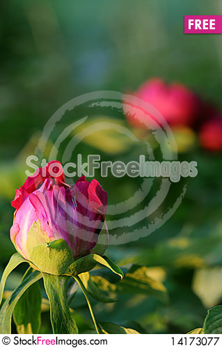 Free Bud And Blossom Royalty Free Stock Photography - 14173077