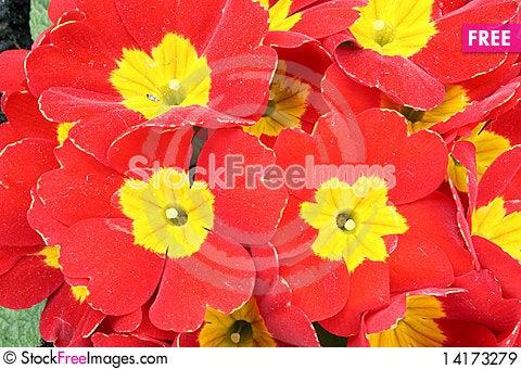 Free Red Primrose Royalty Free Stock Images - 14173279