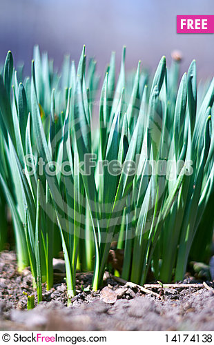 Free Young Green Of Spring Grass Royalty Free Stock Photos - 14174138