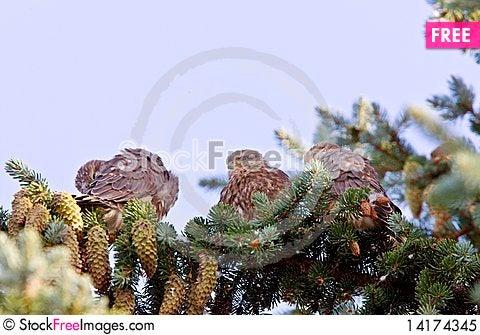 Free Hawk Fledlings In Pine Tree Royalty Free Stock Photo - 14174345