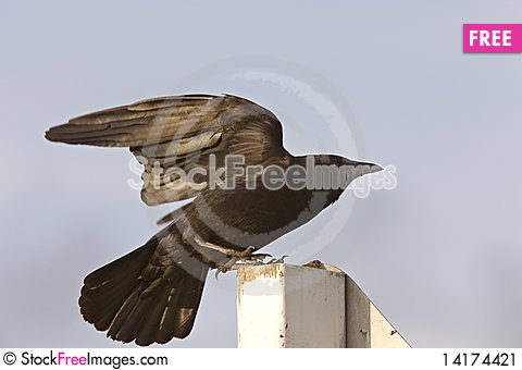 Free Crow Fledgling Perched On Sign Stock Image - 14174421