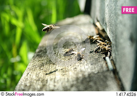 Free Bees At Nest Entrance Royalty Free Stock Image - 14174526