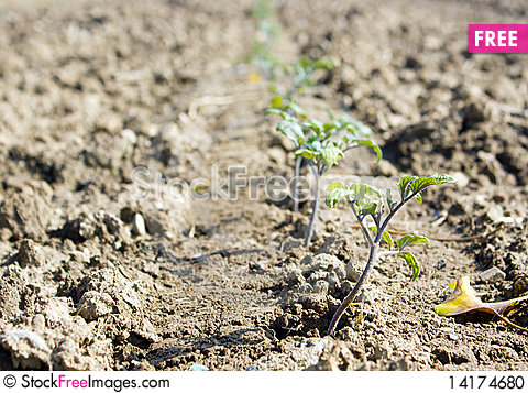 Free Young Tomato Plants Growing In A Field Stock Photo - 14174680