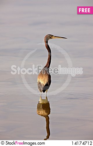 Free Great Blue Heron In Florida Waters Stock Photography - 14174712