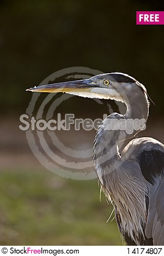 Free Great Blue Heron In Florida Royalty Free Stock Photography - 14174807
