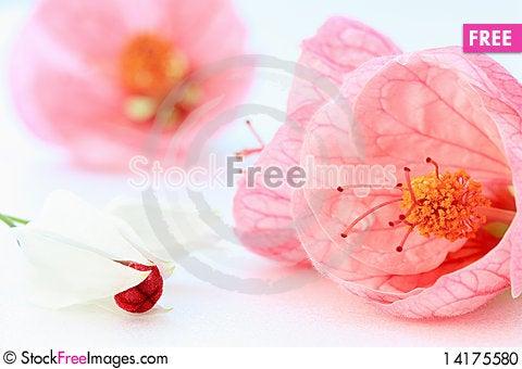 Free Abutilon Flowers Stock Photo - 14175580