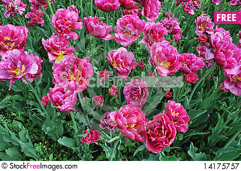 Free Beautiful Pink Blooming Tulips Royalty Free Stock Photography - 14175757