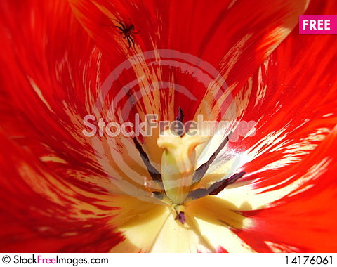 Free Tulip Stock Image - 14176061