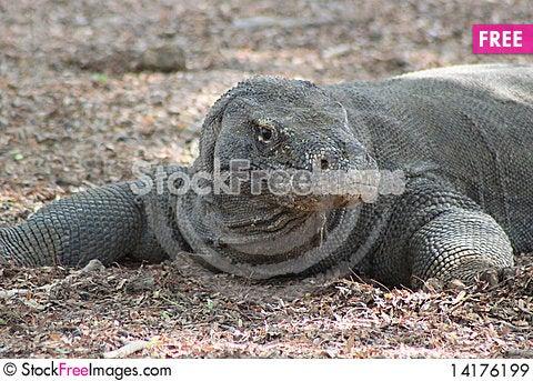 Free Komodo Dragon Royalty Free Stock Images - 14176199