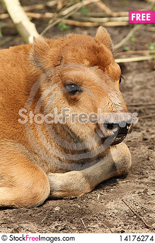 Free Baby Bison Stock Images - 14176274