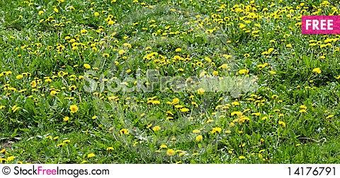 Free Dandelion Meadow Stock Image - 14176791