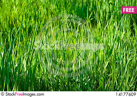 Free Green Grass In Sunlights Royalty Free Stock Images - 14177609