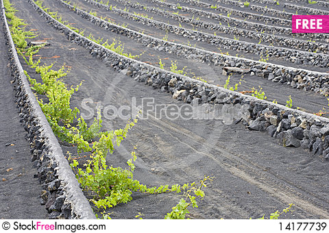 Free Wine Royalty Free Stock Images - 14177739