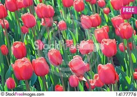 Free Flowering Tulips Royalty Free Stock Image - 14177776
