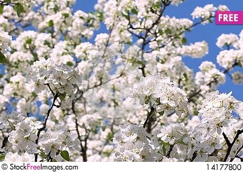Free Apple Blossom Stock Photo - 14177800