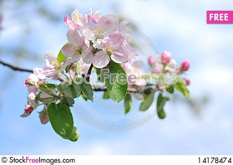 Free Apple Tree Blossom Stock Images - 14178474