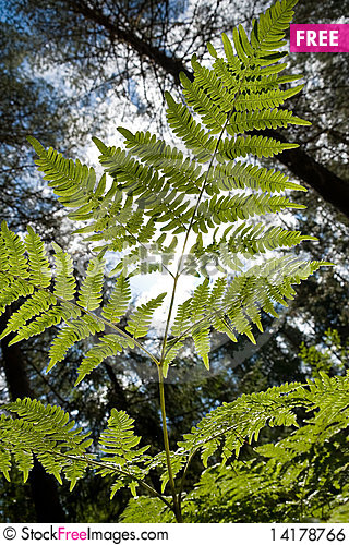 Free Branch Of Fern Royalty Free Stock Image - 14178766