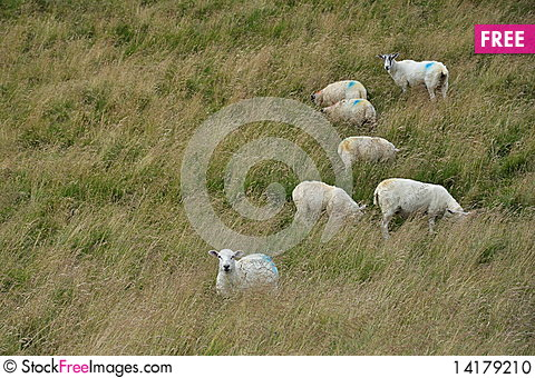 Free English Countryside Landscape: Sheep In Grass Stock Photo - 14179210