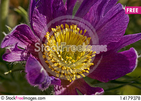 Free Siberian Pasque-flower Royalty Free Stock Photos - 14179378