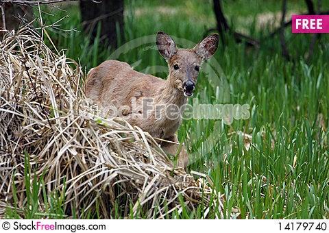 Free White-tail Deer Stock Photo - 14179740