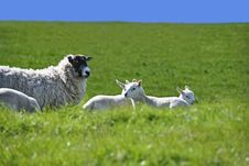 Sheep With Four Lambs In The Green Field In Spring Royalty Free Stock Photo