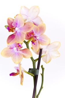 Free Orchid Royalty Free Stock Image - 14170536