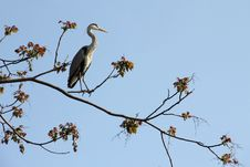 Free Heron Stock Photos - 14171543
