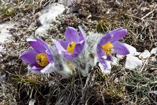 Free Crocuses And Stones Royalty Free Stock Image - 14172656