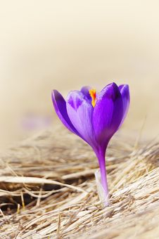 Free Blossoming Crocuses Royalty Free Stock Photography - 14172667