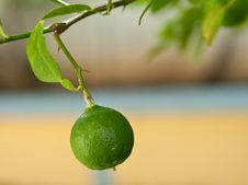 Free Lime On The Tree Royalty Free Stock Photos - 14173998