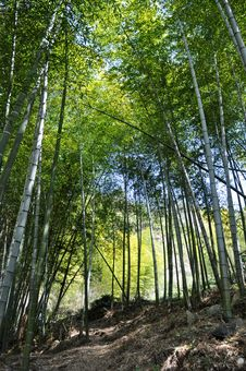 Free Bamboo Forest Royalty Free Stock Photography - 14174007