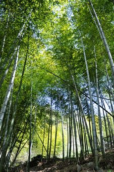 Free Bamboo Forest Stock Photography - 14174162
