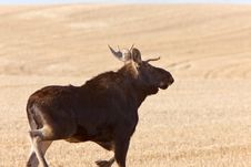 Free Young Bull Moose Running In Prairie Field Stock Photos - 14174253