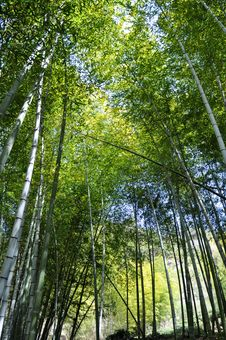 Free Bamboo Forest Royalty Free Stock Photos - 14174268