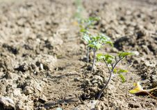 Young Tomato Plants Growing In A Field Stock Photo
